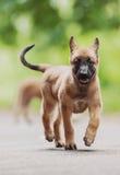 Pastore belga Dog (Malinois) Fotografie Stock Libere da Diritti
