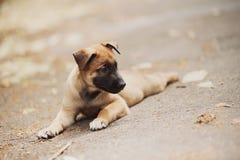 Pastore belga Dog (Malinois) Fotografia Stock