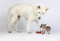 Pastore bianco d'invito della chihuahua da giocare con lei Fotografia Stock Libera da Diritti