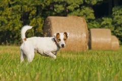 Pastore bianco Russell Terrier Immagini Stock Libere da Diritti