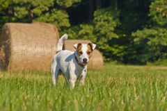 Pastore bianco Russell Terrier Immagine Stock Libera da Diritti