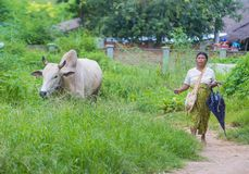 Pastore birmano nel Myanmar Immagini Stock