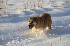 pastore centrale asiatico del cane Fotografie Stock