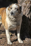 Pastore centroasiatico anziano Dog Fotografie Stock Libere da Diritti