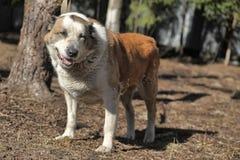 Pastore centroasiatico anziano Dog Immagini Stock