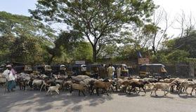 Pastore con il gregge delle capre e degli agnelli Fotografie Stock Libere da Diritti