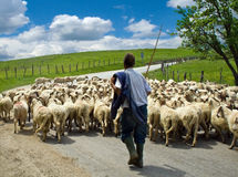 Pastore con il suo gregge delle pecore Fotografia Stock Libera da Diritti