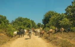 Pastore con le mucche sulla strada nel Kenya Immagini Stock