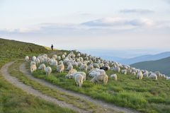 Pastore con le sue pecore Fotografie Stock