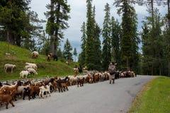 Pastore con le sue pecore, agnelli Fotografia Stock Libera da Diritti