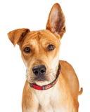 Pastore Crossbreed Dog del primo piano Immagine Stock Libera da Diritti