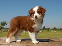 Pastore dell'australiano del cucciolo Fotografia Stock Libera da Diritti