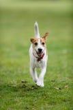 pastore della presa che esegue il terrier di russell fotografia stock