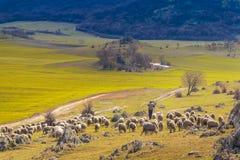 Pastore delle pecore che discende dalla montagna Immagine Stock