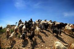 Pastore e capre Fotografia Stock