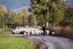 Pastore e le sue pecore Immagini Stock
