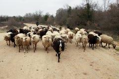 Pastore e sheeps Fotografia Stock Libera da Diritti