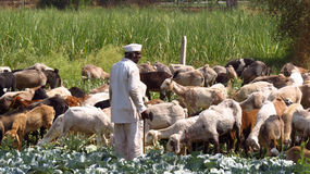 Pastore indiano Immagini Stock Libere da Diritti