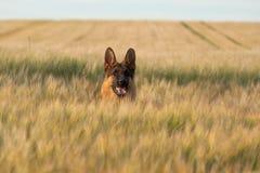 pastore tedesco Fotografia Stock