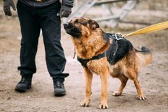 Pastore tedesco arrabbiato Dog On Training Wolf Dog alsaziano Immagini Stock