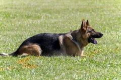 Pastore tedesco In Attack Training fotografie stock