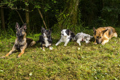 Pastore tedesco Belgian Shepherd e border collie nella foresta fotografie stock libere da diritti
