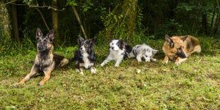 Pastore tedesco Belgian Shepherd e border collie nella foresta fotografia stock libera da diritti