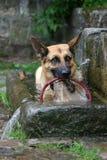 Pastore tedesco che cattura un bagno fotografia stock libera da diritti