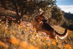 Pastore tedesco che gioca sul campo dei fiori e di olivo gialli fotografie stock