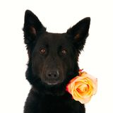 Pastore tedesco con una rosa Fotografia Stock Libera da Diritti