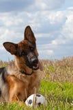 pastore tedesco del cane Fotografie Stock Libere da Diritti