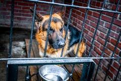 Pastore tedesco del cane triste in una gabbia immagine stock