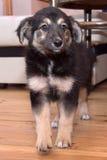 Pastore tedesco del cucciolo immagine stock