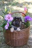 Pastore tedesco del cucciolo fotografia stock libera da diritti