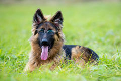Pastore tedesco del giovane cane sull'erba divertente Immagine Stock