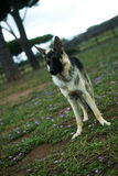 Pastore tedesco Dog Immagine Stock
