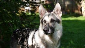 Pastore tedesco Dog Immagine Stock Libera da Diritti