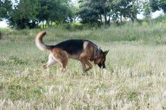 Pastore tedesco Dog Fotografie Stock
