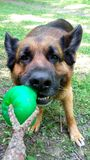 Pastore tedesco Dog che gioca trazione della palla fotografie stock
