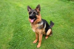 Pastore tedesco Dog che si siede sull'erba verde Immagine Stock