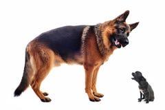 Pastore tedesco e chihuahua Fotografia Stock