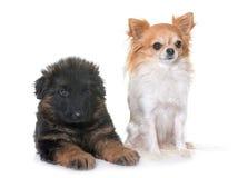 Pastore tedesco e chihuahua del cucciolo Fotografia Stock