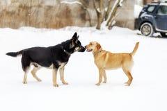 Pastore tedesco e Labrador, fiutantesi fotografia stock