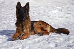 Pastore tedesco nella neve Fotografie Stock