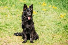 Pastore tedesco nero Dog Sit In Green Grass Wolf Dog alsaziano Fotografie Stock Libere da Diritti