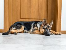 Pastore tedesco Puppy Fotografia Stock