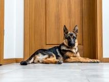 Pastore tedesco Puppy Immagini Stock