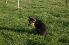 Pastore tedesco Puppy Immagine Stock Libera da Diritti