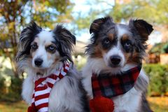 Pastores australianos que vestem Scarves do inverno Imagem de Stock Royalty Free