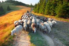 Pastores e carneiros Carpathians foto de stock